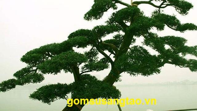 ý nghĩa cây tùng trong phong thuỷ