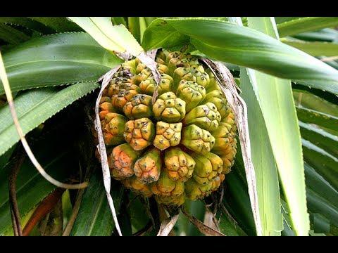 Dứa dại trồng với những kẽ hở trên quả dứa dại - Công dụng của dứa dại
